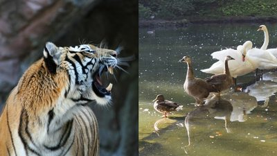Tiger growling at ducks in a pond